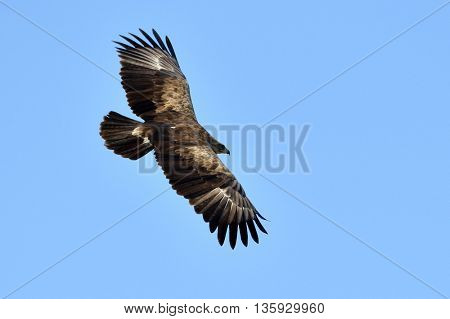 Birds of prey - Lesser Spotted Eagle (Aquila pomarina)
