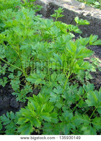 Leaf parsley dried and fresh is a popular culinary seasoning.