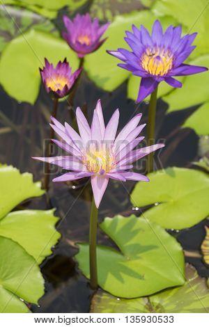 beautiful lotus flower on nature. focus on flower