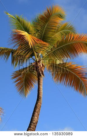 vertical picture of a palm tree in Guadeloupe