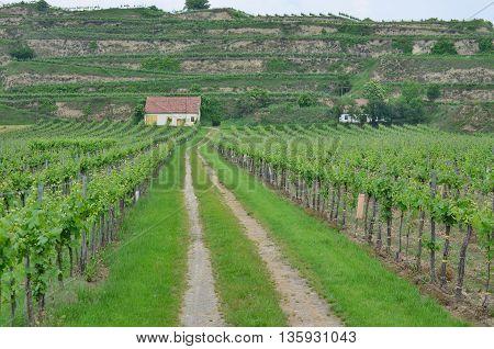 Spring in the vineyard Lower Austria Austria
