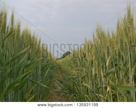 view of ripened grain South Bohemia Czech Republic
