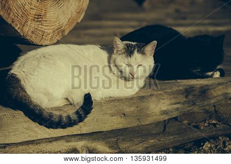 White and black cats on the wooden floor after the long day