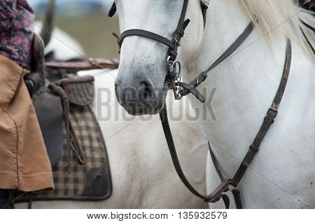 white camargue horses details close up outdoors