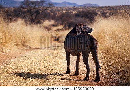 Dog in a dirt road in a prairi in Namibia