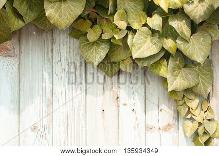 Green creeper plant on old wooden fence on timber background