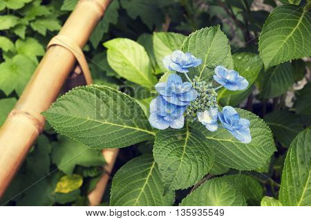 blue blossom flower in Japanese zen garden with bamboo fence fragment