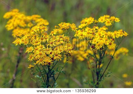 Closeup of yellow blooming tansy ragwort or Jacobaea vulgaris wild flowers in their own habitat. It is a sunny day in the summer season.