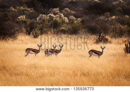 Herd of springbok stand in the dry grass, in Namibia, Africa