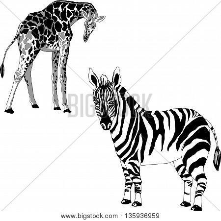 black and white illustration of a giraffe and zebra