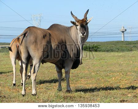 Eland Bull And Cow, Koeburg Nature Reserve, Cape Town South Africa 01