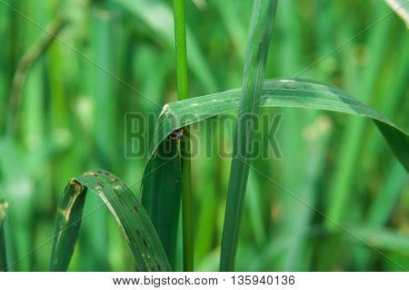Ladybug beetle hid behind a green blade of grass
