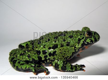 Fire belly toad on white background side profile.