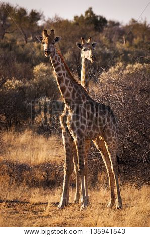 Two giraffes in the Savannah in Namibia Africa