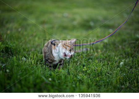 Cat greedy eating grass on evening walk