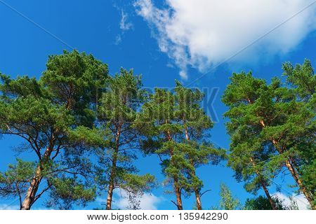 Pine trees on summer day in forest on blue sky background