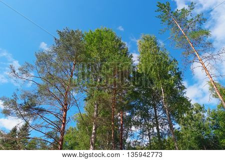 Trees on summer day in forest on blue sky background