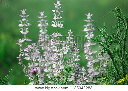 Sage and thistle on the green background