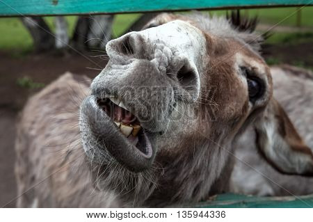 Farm Donkey roars on camera. Nose and teeth near