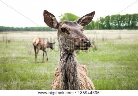 Altai Siberian deer in nature. Look at camera. Female of deer