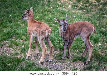 Two young mountain goat on the green grass