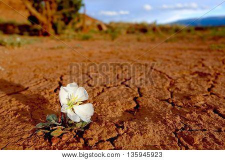 Lone Flower Blooms in The Desert.  Capitol Reef National Park, Utah, USA.
