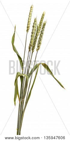 Several Wheat Ears Isolated On White Background