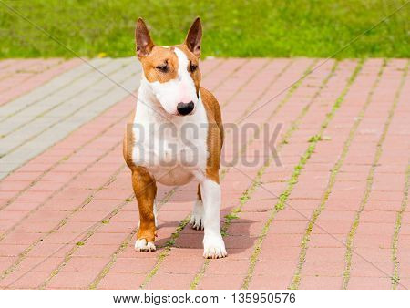 Bull Terrier full face. Red and white Bull Terrier is on the grass.