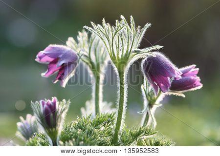 Pasque Flower - Pulsatilla Vulgaris in Backlit