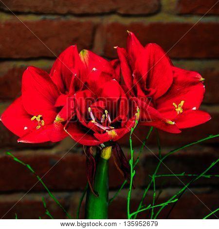Amaryllis shot on background red colour, bricks background