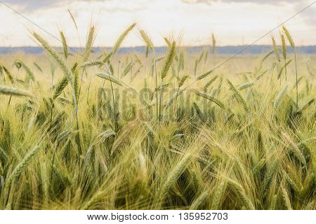 Barley in the field closeup selective focus