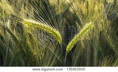 Barley in the field closeup selective focus on front stems