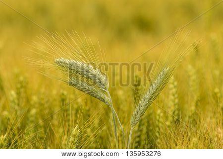 Barley In The Field, Crop Field