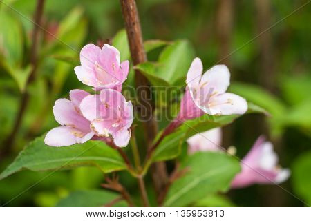 Idyllic Summer and Spring Meadow - Pink Rhododendron
