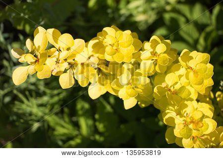 Idyllic Summer Meadow Wildflowers - Berberis Thunbergii Bonanza Gold