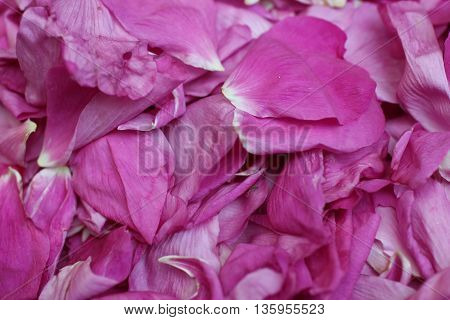 the bunch of pink rose close to