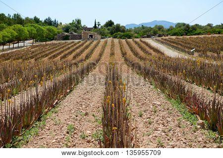 The field of Aloe vera in organic farm Mallorca Spain