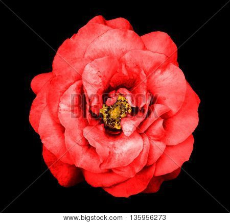 Surreal Dark Chrome Red Rose Flower Isolated On Black