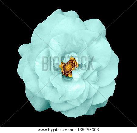 Natural Tender Turquoise Rose Flower Isolated On Black