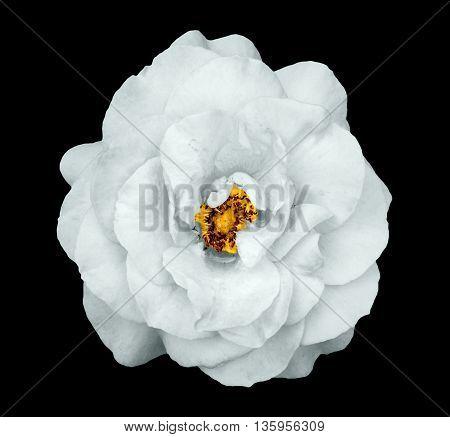 Natural Tender White Rose Flower Isolated On Black