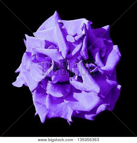 Surreal Dark Exotic Violet Marigold Flower Macro Isolated On Black