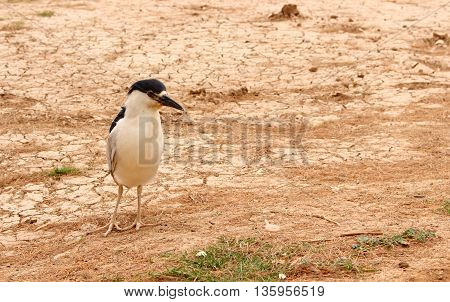 Black-crowned night heron is one of those cool birds who feed of the fish in the lake.