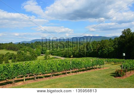 A large vineyard in the spring of the year. This one is in North Carolina.