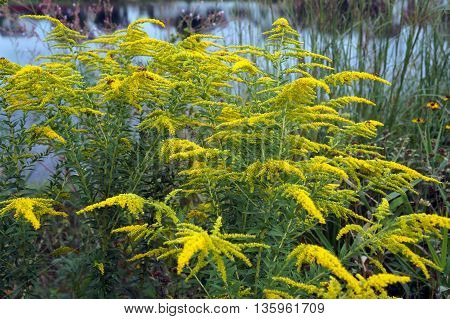 Canada goldenrod (Solidago canadensis) blooms near a small lake in Shorewood, Illinois during August