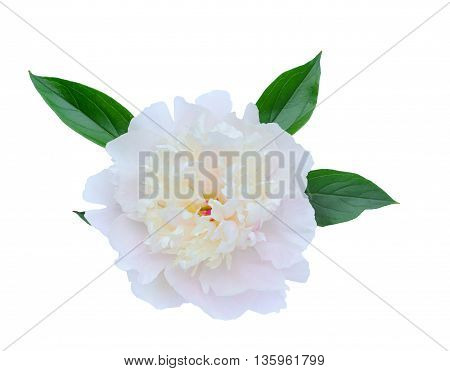 Peony flowers isolated on white background with leaves.