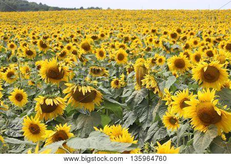 Field of yellow sunflowers summer sun flowers lots