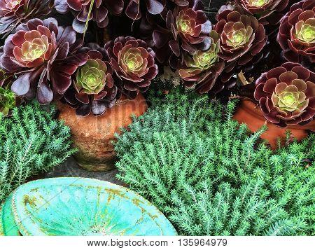 Beautiful succulent plants in clay pots. Aeonium Black Rose.