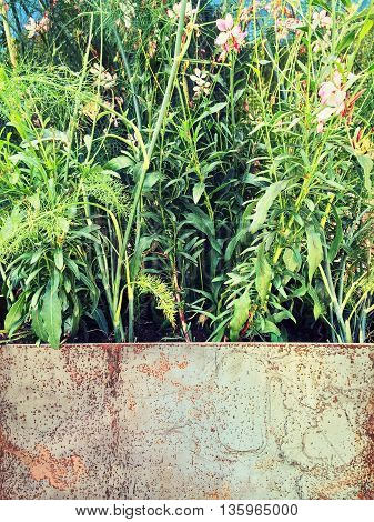 Plants blooming in a rusty metal container. Vintage style garden.