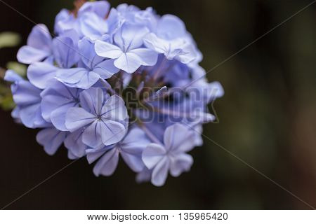 Blue flowers of Petrea volubilis, also called the sandpaper vine, which is an evergreen flowering vine native to Mexico and Central America.