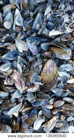 Mussels shells. Washed up broken Mussel shells.